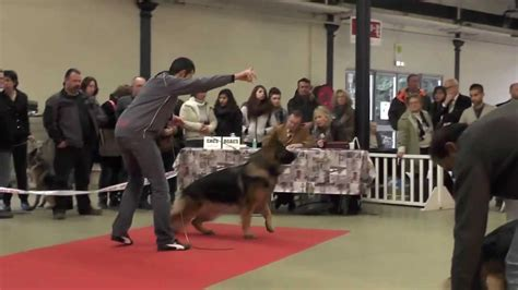 le berger how it works berger allemand au paris dog show 2014 youtube