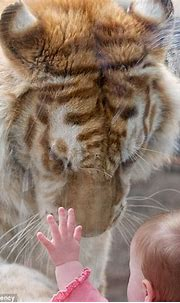 Easy tiger! Remarkable moment baby holds hand to Bengal ...