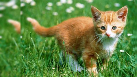 Kitten Desktop Wallpaper 1920x1080 Wallpapersafari