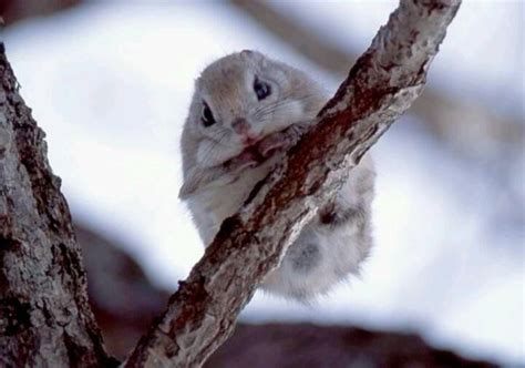 Scoiattolo Volante Giapponese Japanese Flying Squirrel So Xcitefun Net