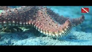 Etoile De Mer Dofus : une toile de mer qui marche c est le pied starfish walking youtube ~ Medecine-chirurgie-esthetiques.com Avis de Voitures