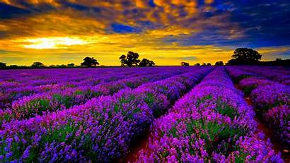 Colorful Wallpapers Lavender Colorfull Colour Bing Flowers