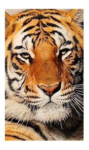 Philippe Cousteau Tracks a 550 Lb Bengal Tiger   Treasures ...