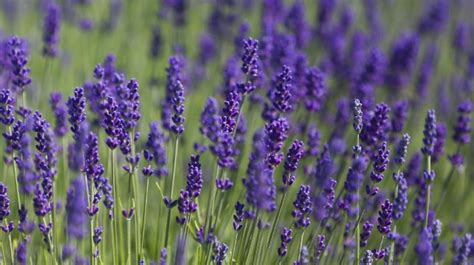 Lavendel Richtig Pflegen by Lavendel Richtig Pflegen Lavendel Im Garten Richtig