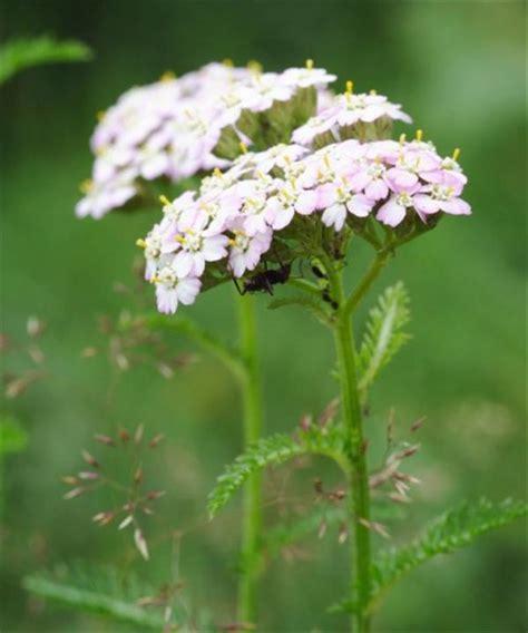 Wild Yarrow Plant
