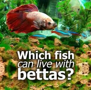 What Fish Can Live With Bettas The Tank Mate Guide
