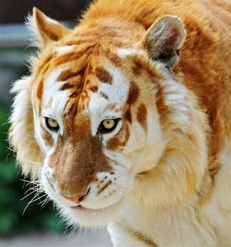 Damn Fresh Pics Unusual Golden Tabby Tiger