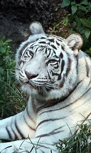 Cincinnati Zoo ... White Tiger | © All Rights Reserved ...