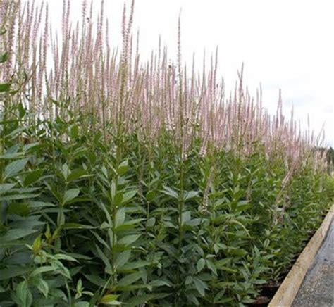 veronicastrum virginicum lavender towers veronicastrum virginicum leptandra virginica veronica virginica blackroot plant lust