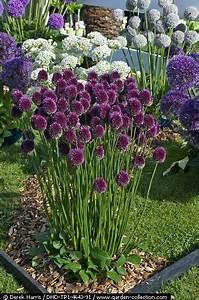 Blumen Für Steingarten : pflanzen f r den garten verschiedene allium garten pinte ~ Markanthonyermac.com Haus und Dekorationen