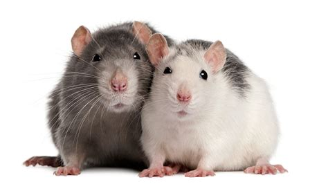 Rat Animals Free Photos Gallery High Defination Wallpapers