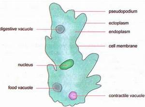 Characteristics Of Animal Like Protists : Protozoans