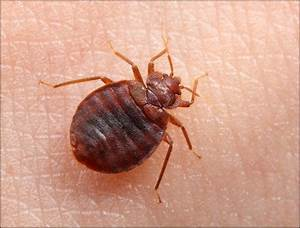 easy way to kill bed bugs to make them gone for good With bed bug be gone