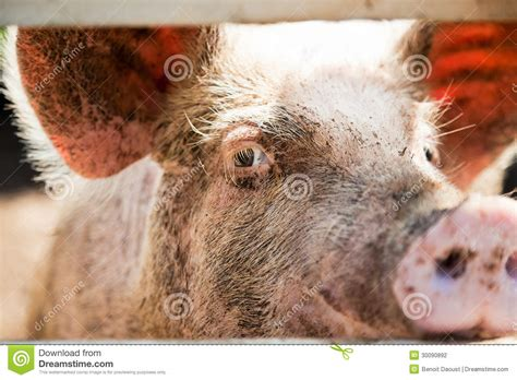 close    pig eye stock photography image