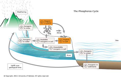 phosphorus cycle science learning hub