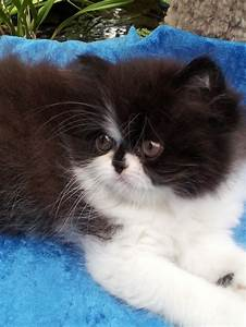 "Black and white Persian Female kitten ""SOLD"" 