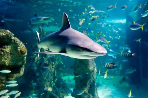 snorkel with sharks at sea sydney aquarium lonely planet