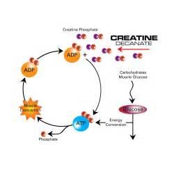 Creatine Muscle Diagram