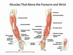 Major Skeletal Muscles - ppt video online download