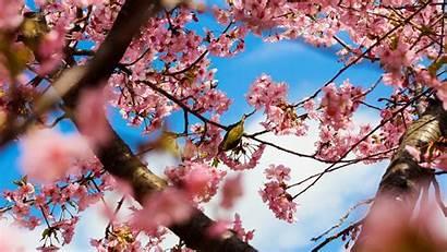 Cherry Desktop Blossom Blossoms Computer Wallpapers