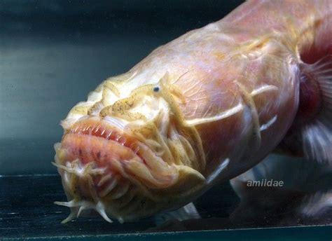 bearded worm goby taenioides cirratus deep sea