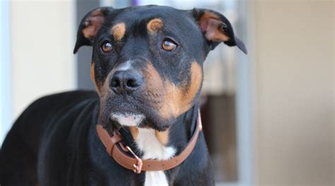 rottweiler pitbull mix pitweiler breed information pictures