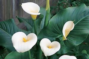 Fleur De Lys Plante : annuelle lys calla centre jardin botanix ~ Melissatoandfro.com Idées de Décoration
