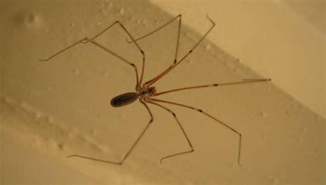 araignee dans la maison arachnides araignees une araign 233 e de maison pholcus phalangioides sfo soci 233 t 233 fran 231 aise d