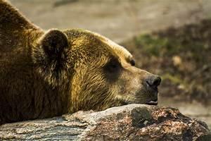 Grizzly bear stone face profile lies wallpaper | 3000x2000 ...