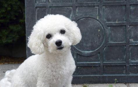 care   coat   bichon frise dog care