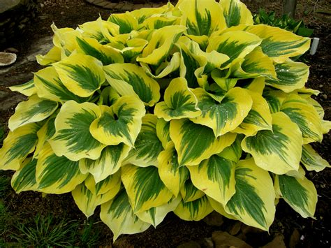 large hostas shade large hostas carolyn s shade gardens