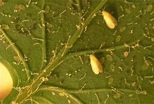 Weiße Fliege Bekämpfen Hausmittel : wei e fliege bek mpfen im garten bei kohl tomaten gurken ~ Whattoseeinmadrid.com Haus und Dekorationen