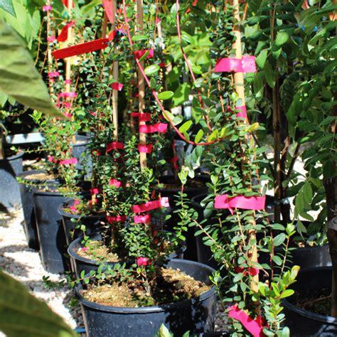 mirtillo in vaso disponibile piante di mirtillo rosso