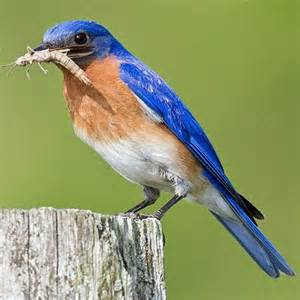 new york state bird images