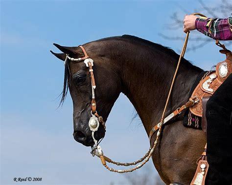 western arabian pleasure horse tack saddle horses arab arabians ak0 dressage egyptian pixels