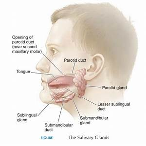 Salivary Glands And Saliva