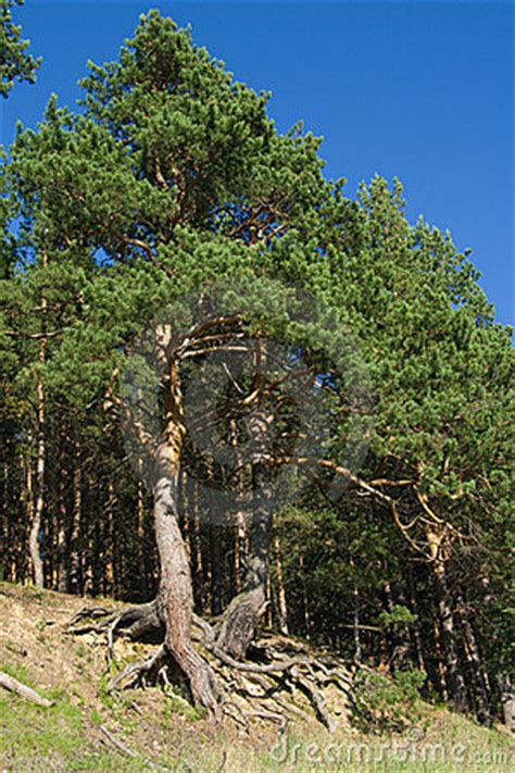 pine trees  curved roots stock  image