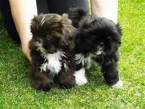 Pin Cute-shih-tzu-puppies-wallpaper on Pinterest