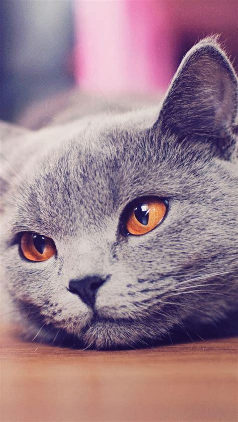 british shorthair cat yellow eyes portrait iphone