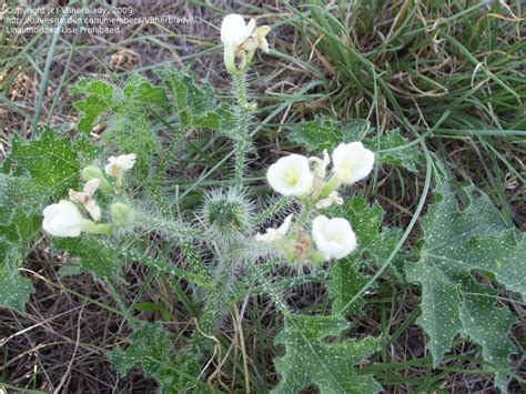 prickly weeds plant identification closed prickly viny weed in southern texas 1 by vbherblady