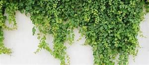 Immergrüne Kletterpflanzen Winterhart : immergr ne kletterpflanze schnellwachsend winterhart wohn design ~ Eleganceandgraceweddings.com Haus und Dekorationen