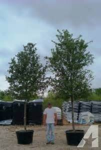 trees for sale live oaks surrounding for sale in classified