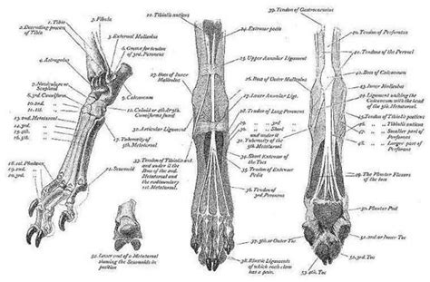 canine front paw google search pet pets dog anatomy
