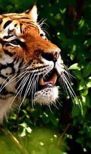 Tiger 4k Ultra HD Wallpaper   Background Image   4000x2667 ...