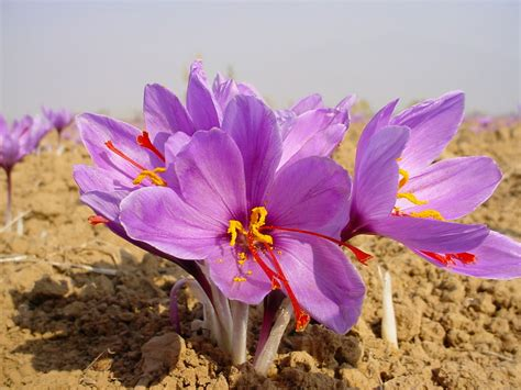 how to grow the saffron crocus crocus sativus the