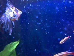 Goldfish Velo se e a un Neon Chino Gold