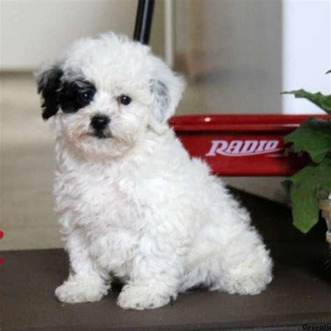 Maltese Bichon Mix For Sale Goldenacresdogs Com