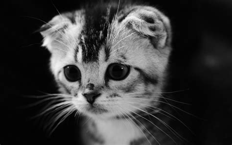 Grey Animal Wallpaper - gray kitten wallpaper animals wallpaper better
