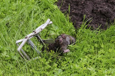 wildlife mole florida nuisance trapper trap hill near dead steel licensed become lie caught animal considered certain outdoors