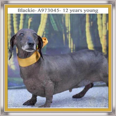 update adopted senior dachshund henderson animal